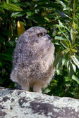 Young Spotted Eagle Owl — Stock Photo