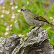 Sombre Greenbul — Stock Photo #22001709