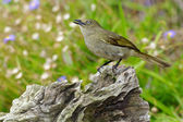 Sombre Greenbul — Stock Photo