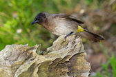 Common Bulbul — Stock Photo