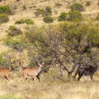 Kudu Group — Stock Photo