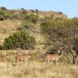 Female Kudu — Stock Photo #22350663