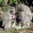 Royalty-Free Stock Photo: Vervet Monkey Family