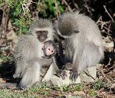 Vervet Monkey Family — Stock Photo