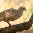 Geburt spurfowl — Stockfoto
