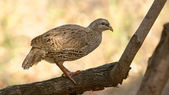 Natal Spurfowl — Stock Photo