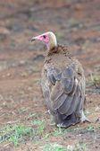 Hooded Vulture — ストック写真