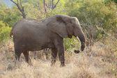 éléphant d'afrique — Photo