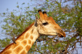 Giraffe Portrait — Stock Photo