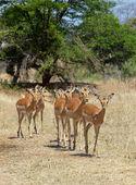 Impala Ewes — Stock Photo