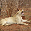 Yawning Lioness — Stock Photo