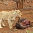 Stock Photo: Lioness at Kill