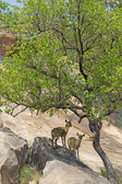 Klipspringer Pair — Stock Photo