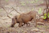 Warthog with Piglets — Stock Photo