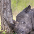 Постер, плакат: Sleeping Rhino