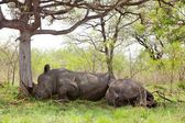Sleeping Rhino — Stock Photo