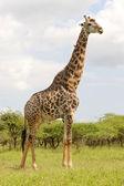 Male Giraffe — Stock Photo