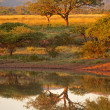 Stock Photo: Bushveld Dawn