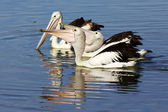Australian Pelicans — Stock Photo