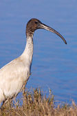 Australian White Ibis — Stock Photo
