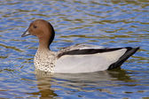 Australian Wood Duck — Stock Photo