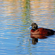 Blue-billed Duck — Stock Photo