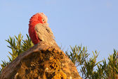 Galah — Stock Photo