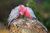 Galah Pair — Stock Photo