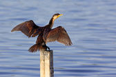 Little Pied Cormorant — Stock Photo