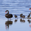 Swans and Coots — Stock Photo #31988827