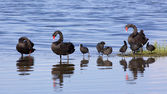 Swans and Coots — Stock Photo