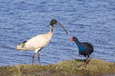 Ibis and Swamphen — Stock Photo