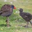 Stock Photo: Purple Swamphen and Chick