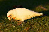 Western Corella — Stock Photo