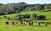 Australian Cattle Farm — Stock Photo