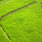 Bali Rice Terraces — Stock Photo #8834558