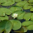 Water lilly — Stockfoto #12321035