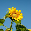 Yellow sunflowers — Stock Photo