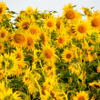Stock Photo: Yellow sunflowers hight contrast