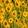 Yellow sunflowers hight contrast — Stock Photo