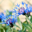 Blue cornflower — Stock Photo