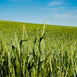 Green wheat in fileld — Stock Photo