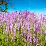Lupin blossom — Stock Photo