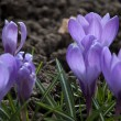 Spring crocus flowers — Stock Photo