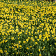 Yellow daffodils — Stock Photo #12321178