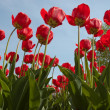 Red spring tulips - Stock Photo