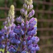 Lupin blossom — Stock Photo #12321294