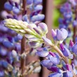 Lupin blossom — Stock Photo #12321295