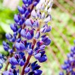 Lupin blossom — Stock Photo #12321302