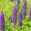 Lupin blossom — Stock Photo